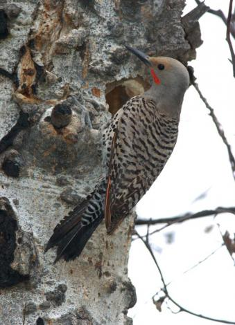 Male Northern Flicker at nest cavity in aspen
