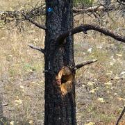 Northern Flicker nest snag