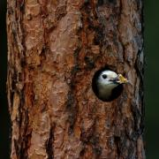 White-headed Woodpecker excavating cavity