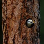 White-headed Woodpecker excavating cavity
