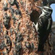 Hairy Woodpecker at nest cavity