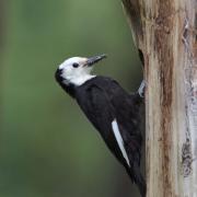Female White-headed Woodpecker at nest cavity