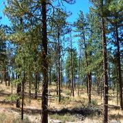 Open ponderosa pine forest where Western Bluebirds nest