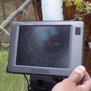 Western Bluebird eggs and nestlings on monitor of nest camera