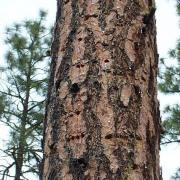 White-headed Woodpecker sap wells