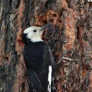 Female White-headed Woodpecker at sap wells